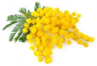 mimosa-320x218.jpg